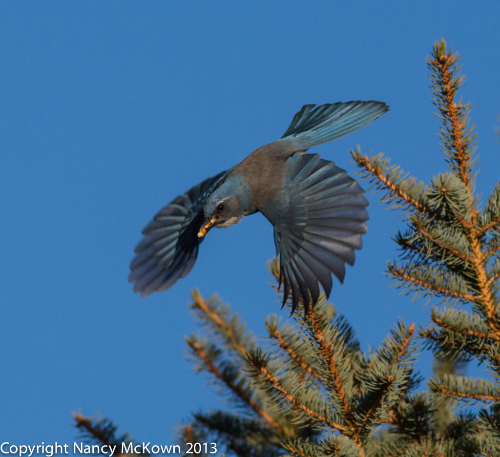 Photo of Scrub Jay in Flight