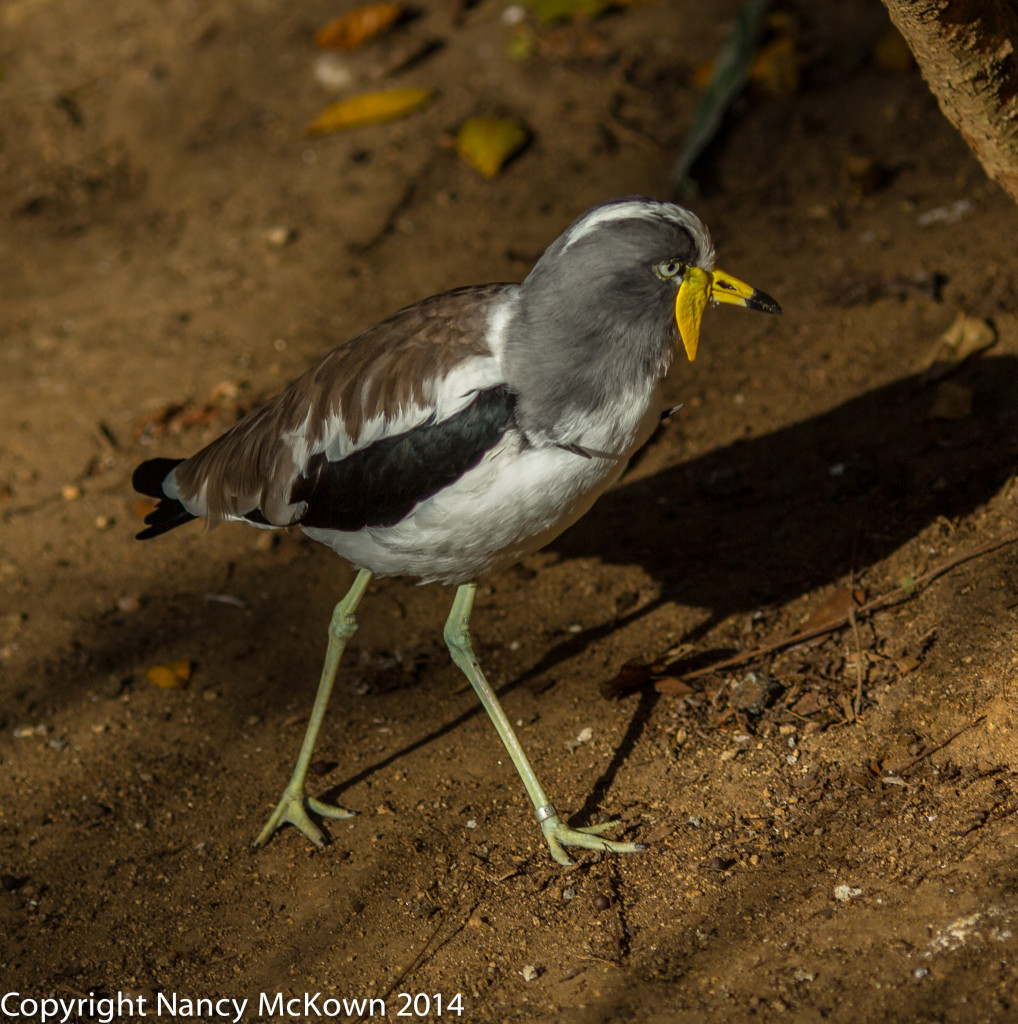 Photo of African Wattled Lapwing