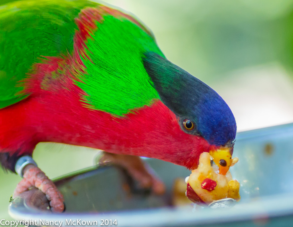 Photo of Collared Lory