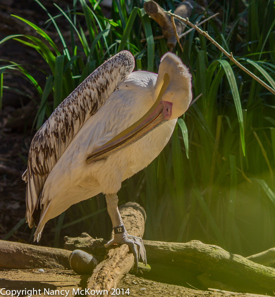 Photo of Great White Pelican