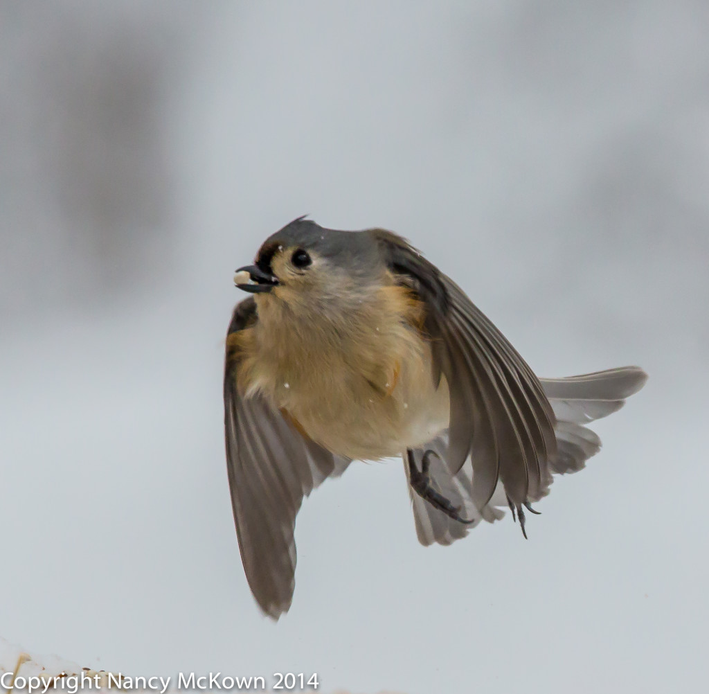 Photo of Tufted Titmouse in Flight