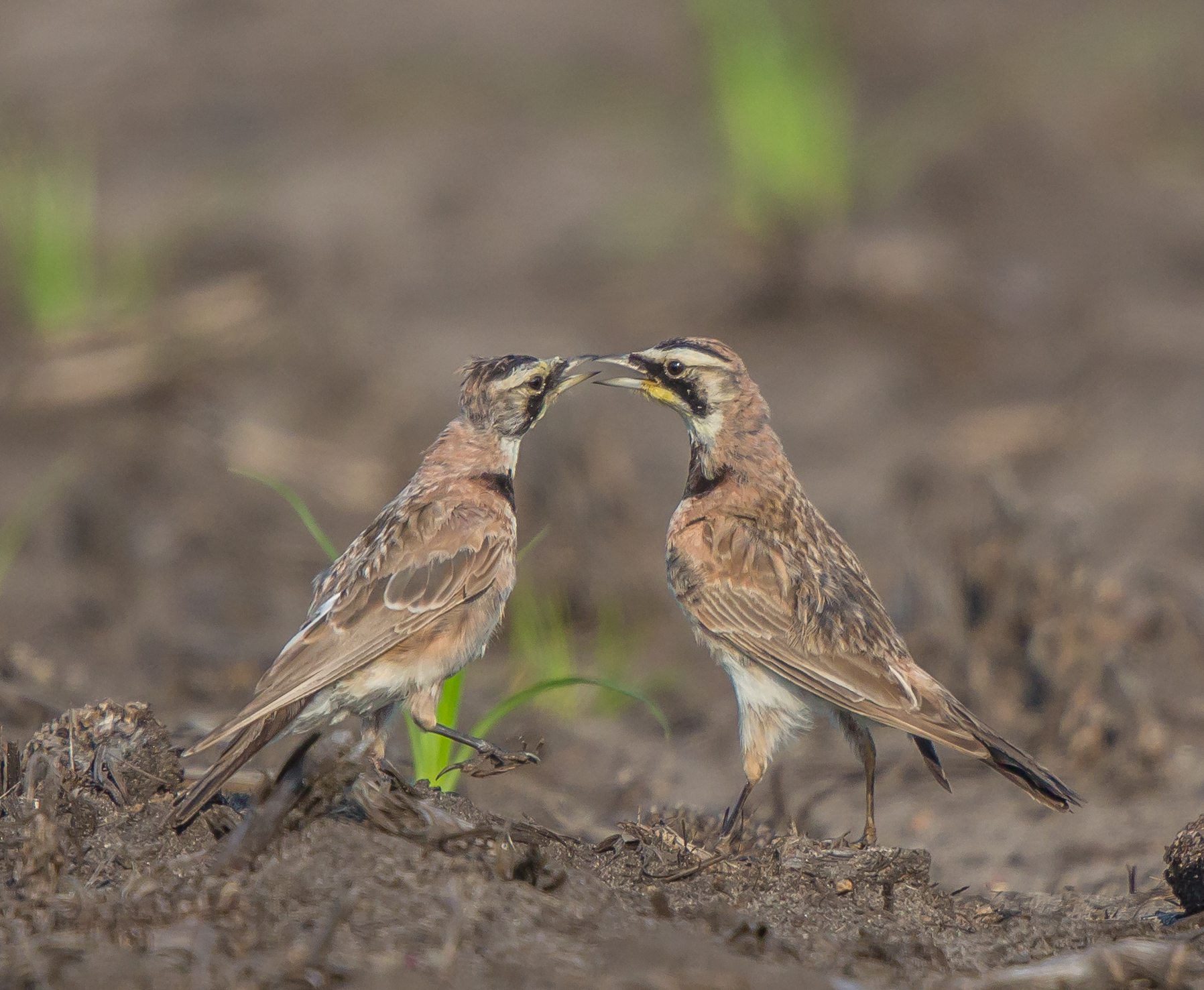 Adult and Immature Horned Lark