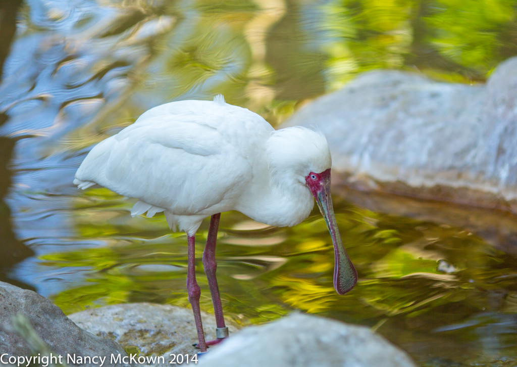 Photo of African Spoonbill
