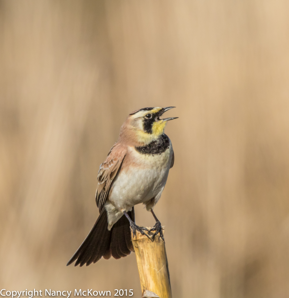 Photo of Horned Lark