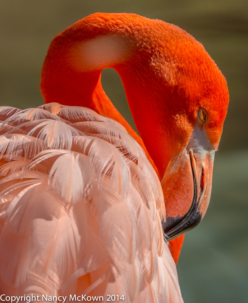 Photo of American (Caribbean)  Flamingo
