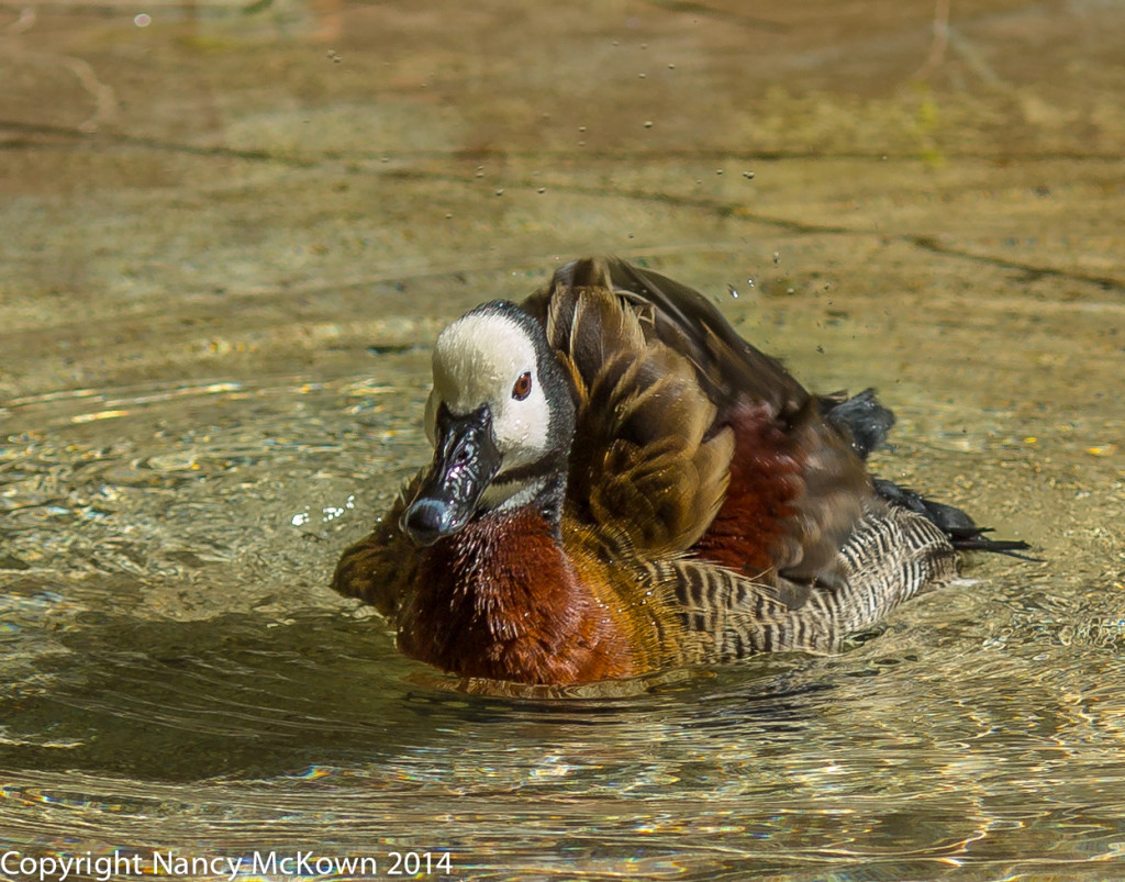 Photo of White Face Whistling Duck
