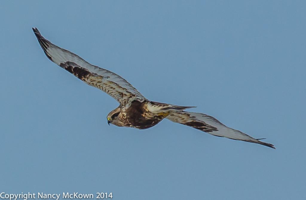 Photo of Male RoughLegged Hawk