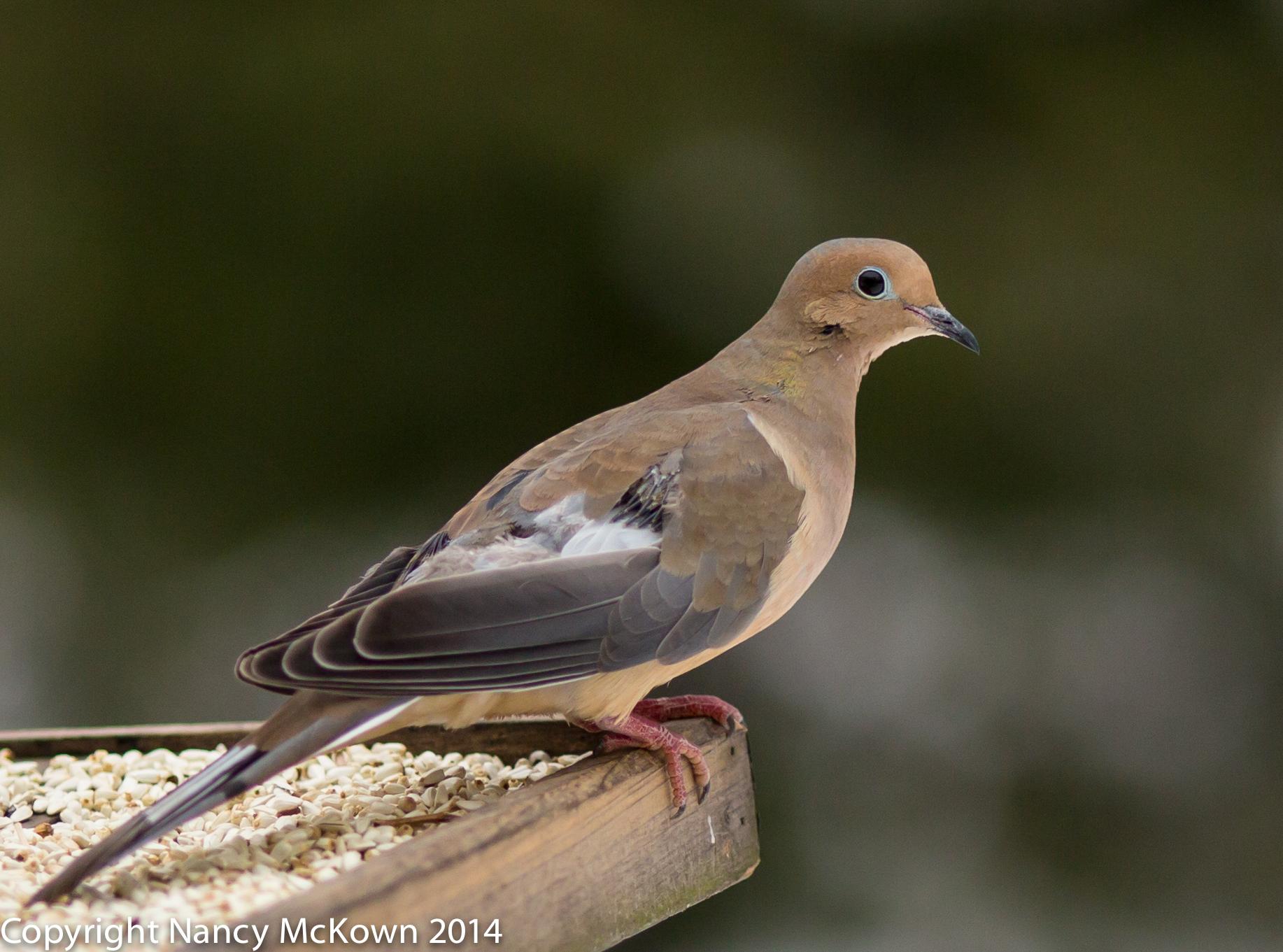 Nancy bird photography part 16 photo of mourning dove buycottarizona