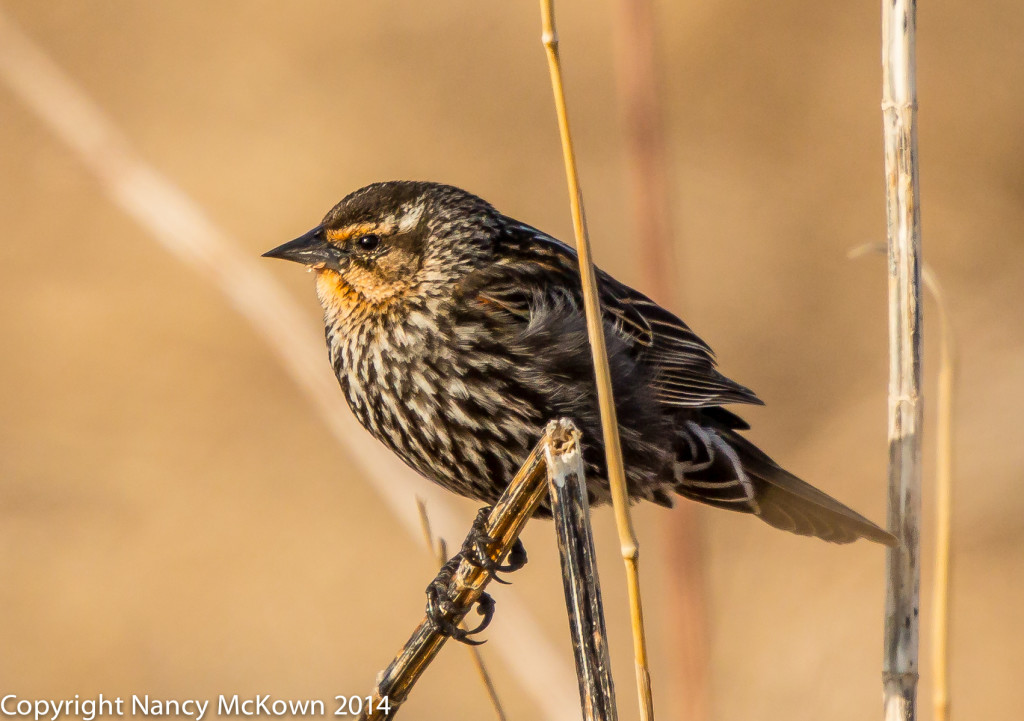 Photo of Female Red Winged Blackbird