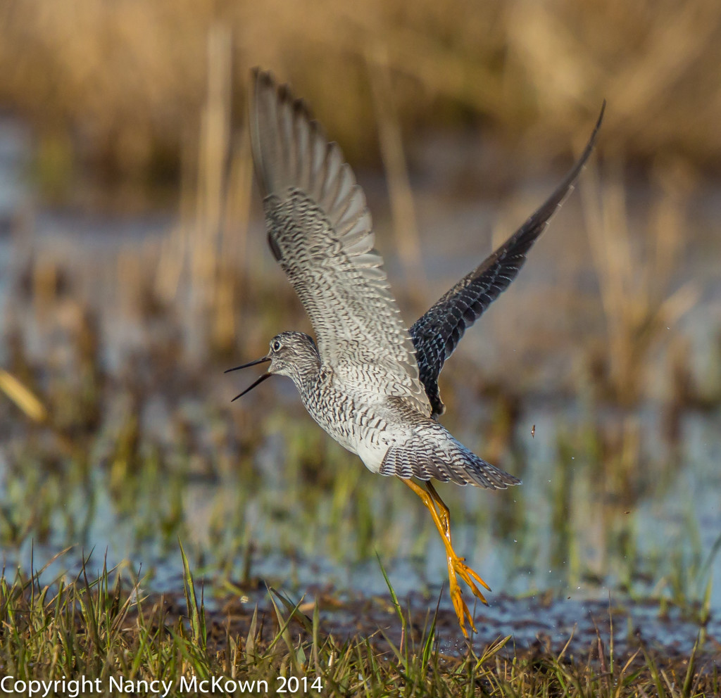 Photo of Greater Yellow Legged Sandpiper