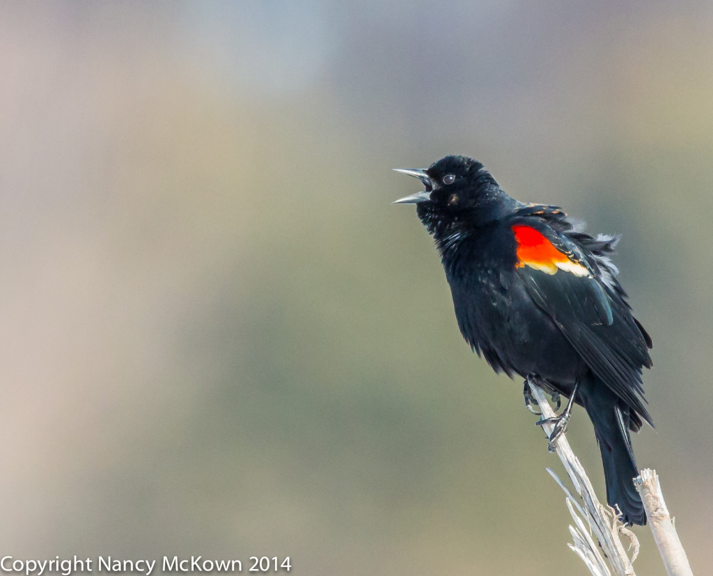 Photograph of Red Winged Blackbird