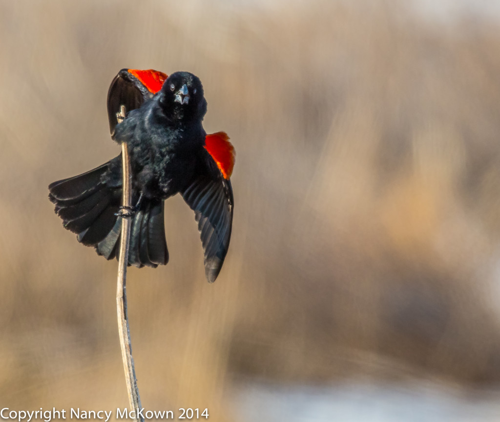 Photo of Red Winged Blackbird