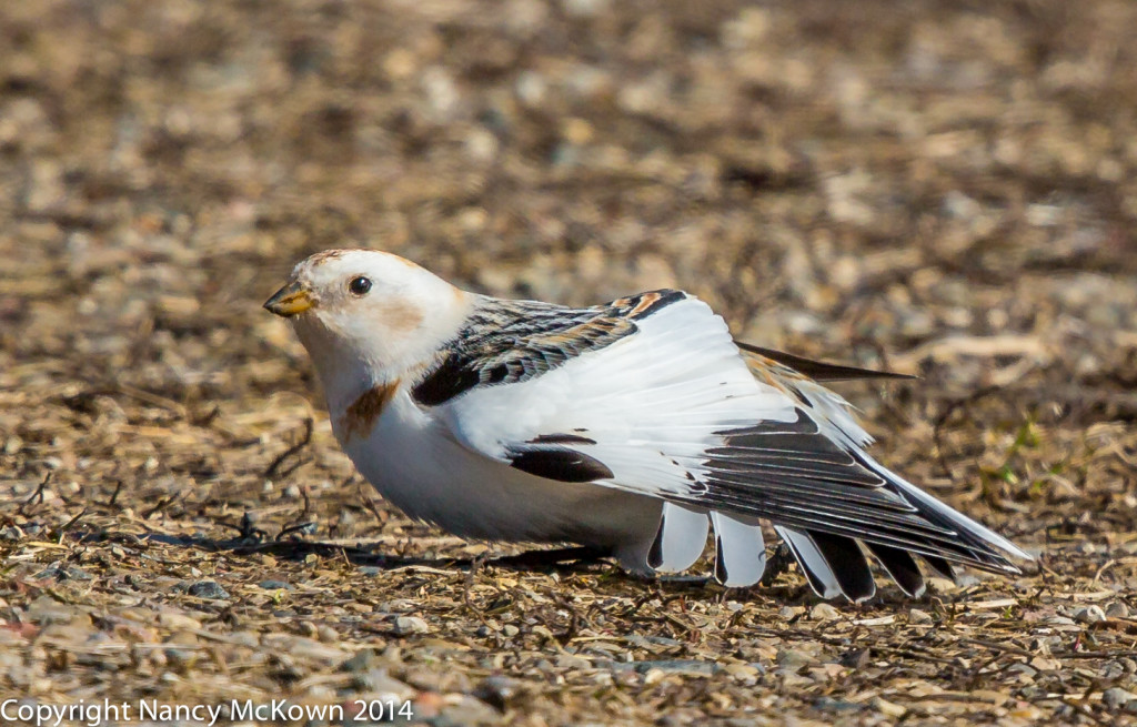 Photograph of Male Snow Bunting