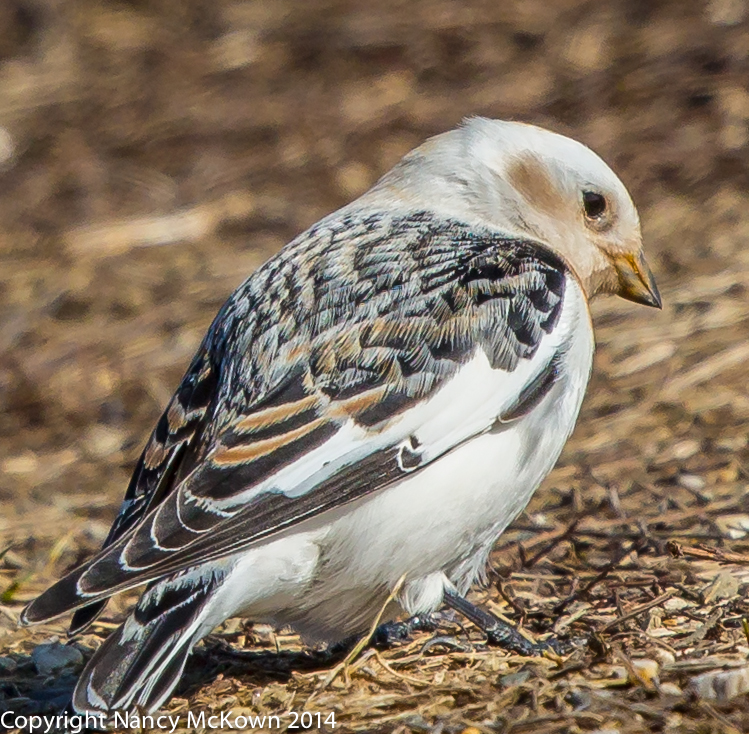 Photograph of Snow Bunting