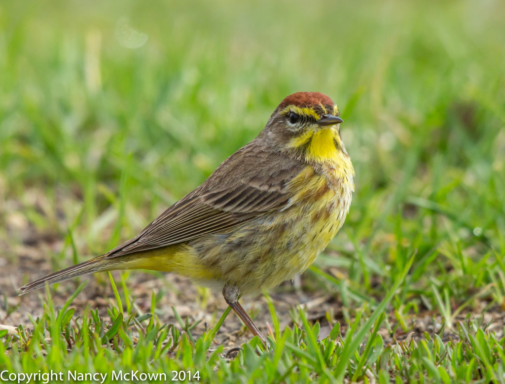Photo of Western Palm Warbler