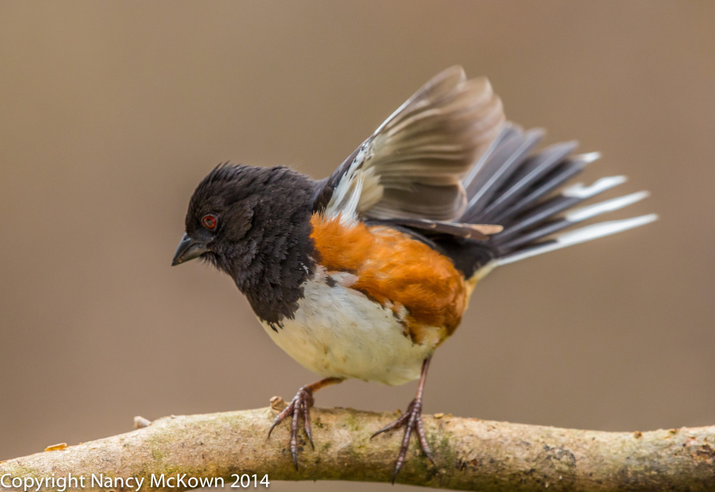 Photograph of Eastern Towhee
