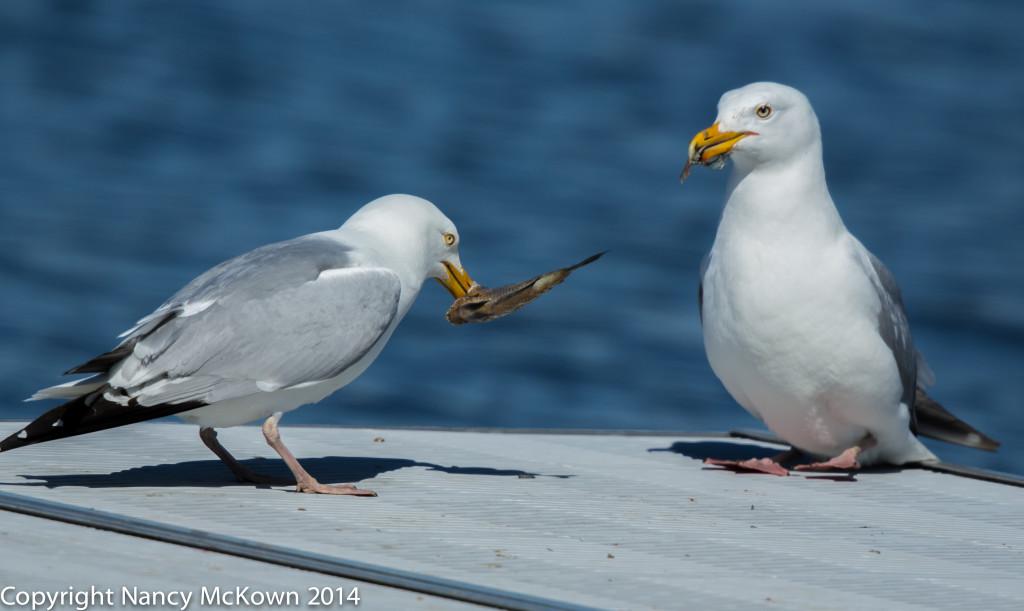 Photo of 2 Sea gulls Eating