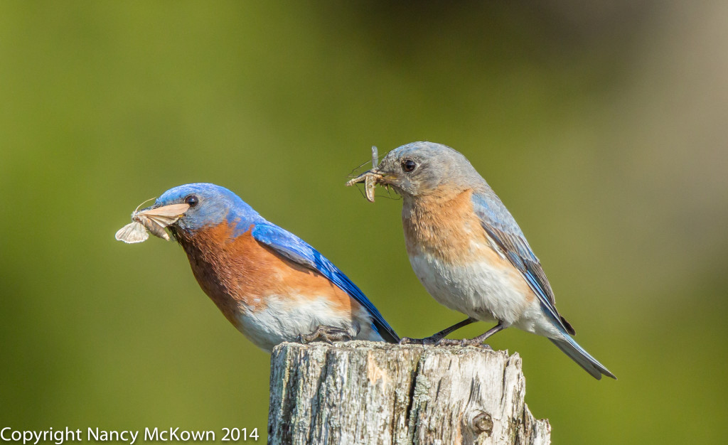 Photo of Male and Female Bluebirds