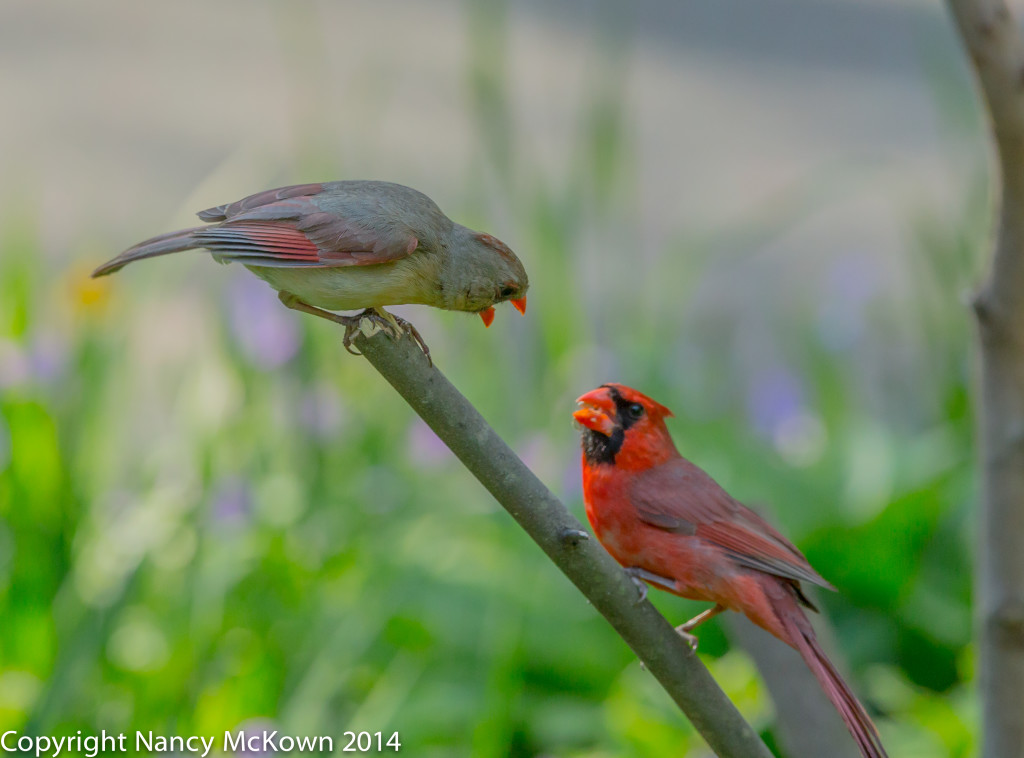 Photo of 2 Cardinals Mate Feeding