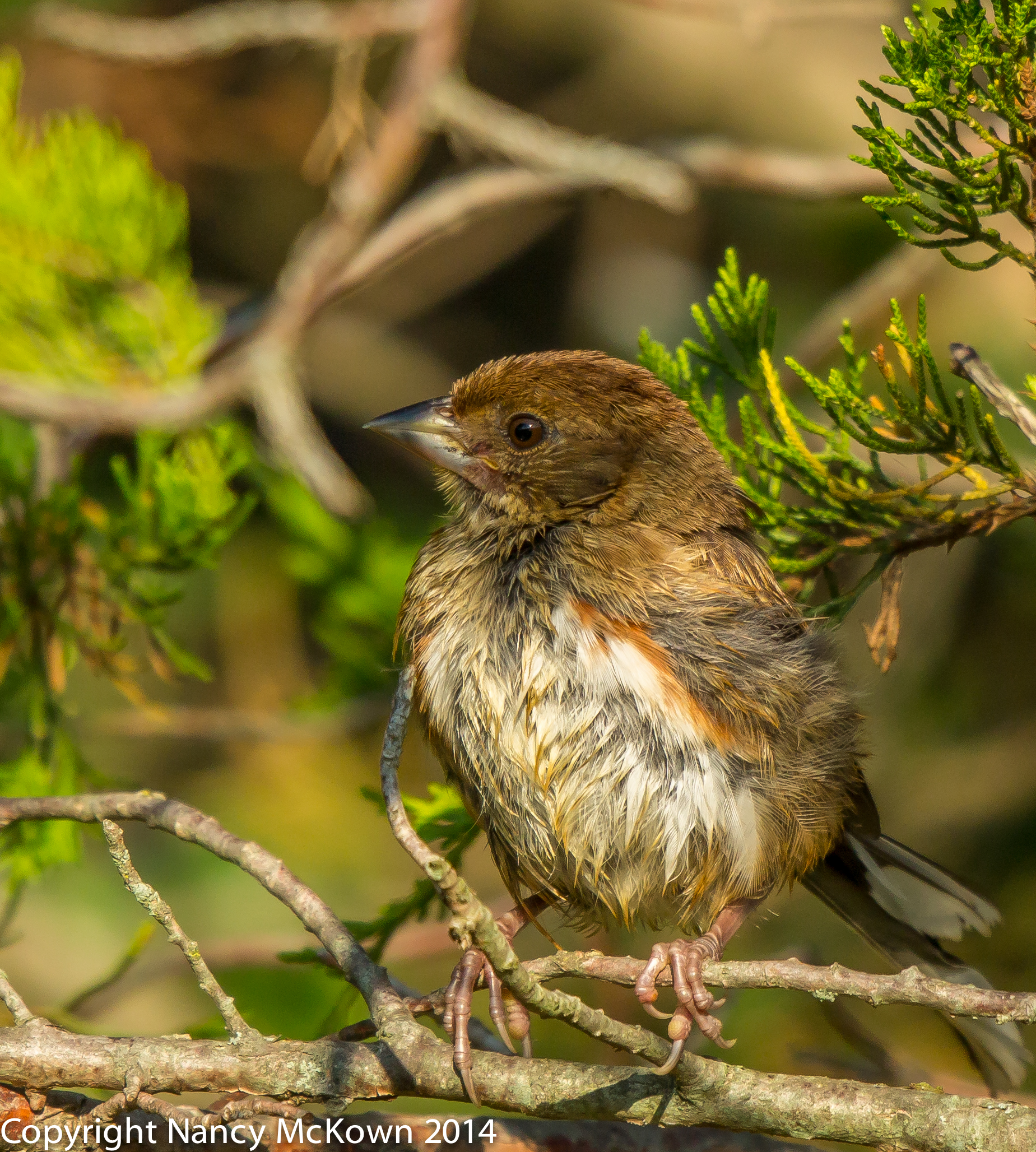 Photo of Juvenile Eastern Towhee