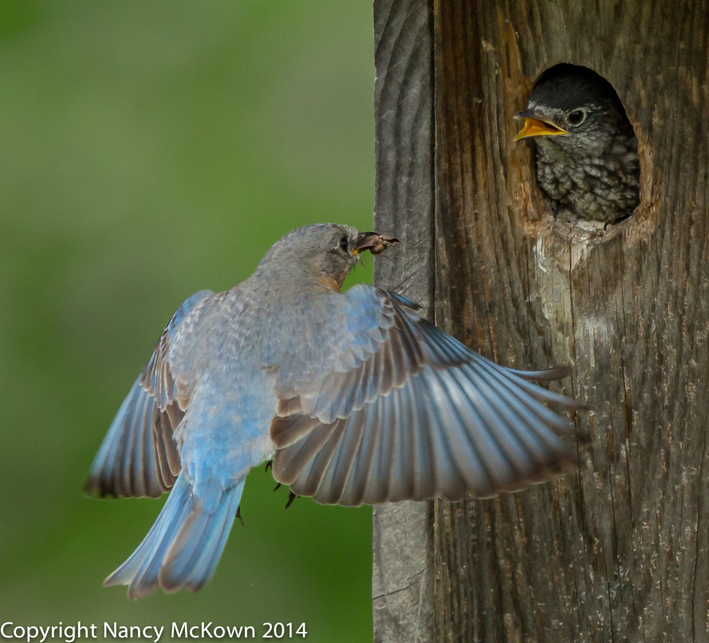 Photo of Female Bluebirds Feeding Young