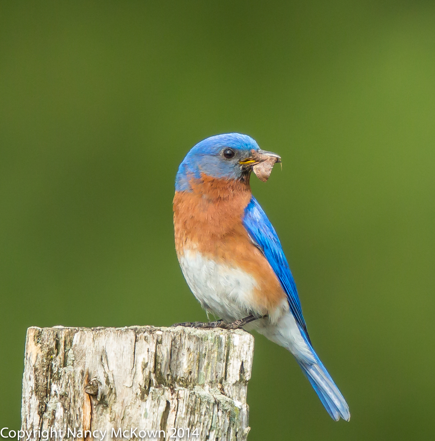 Photo of Eastern Bluebird
