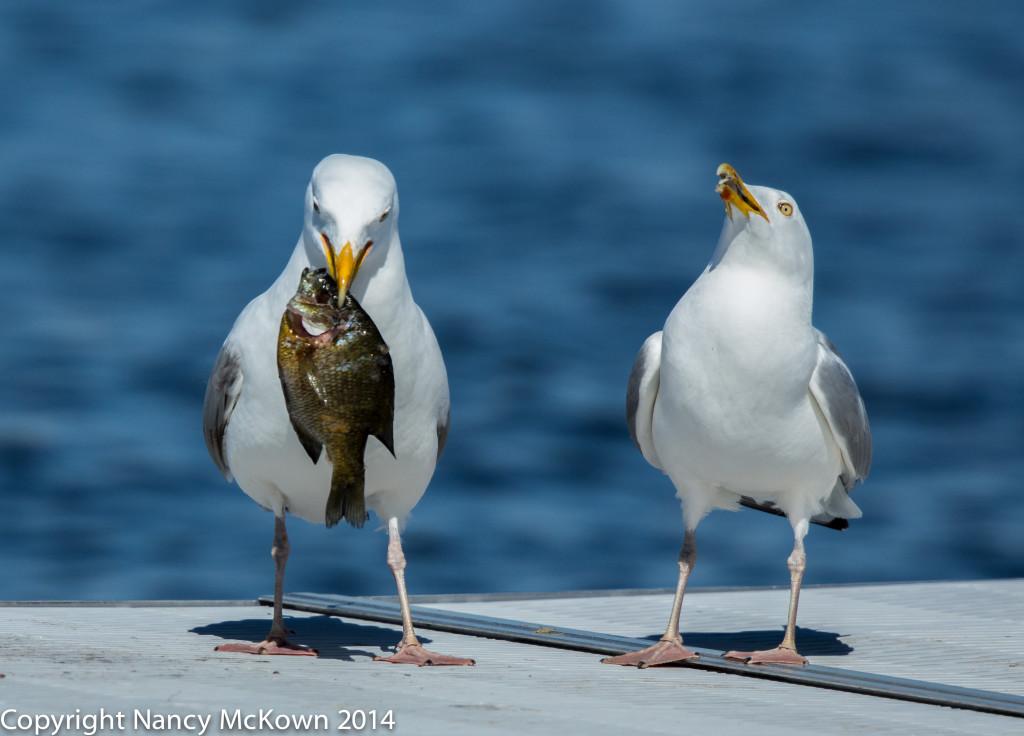 Seagulls2 NMcKown