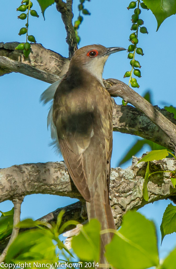 Photo of Black Billed Cuckoo