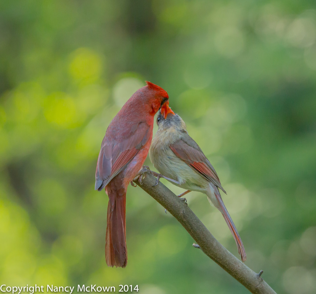 Photo of Courtship Feeding - Two Cardinals