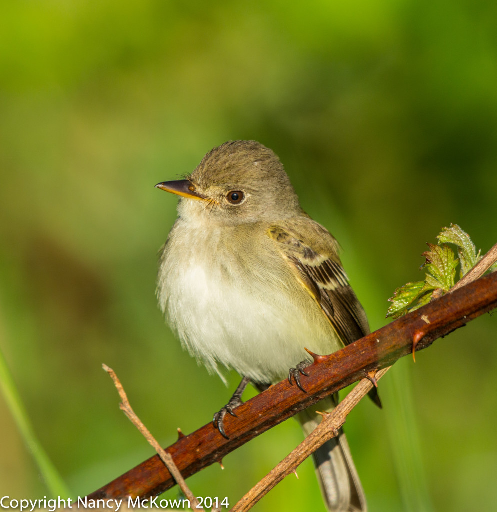 Flycatcher Photo
