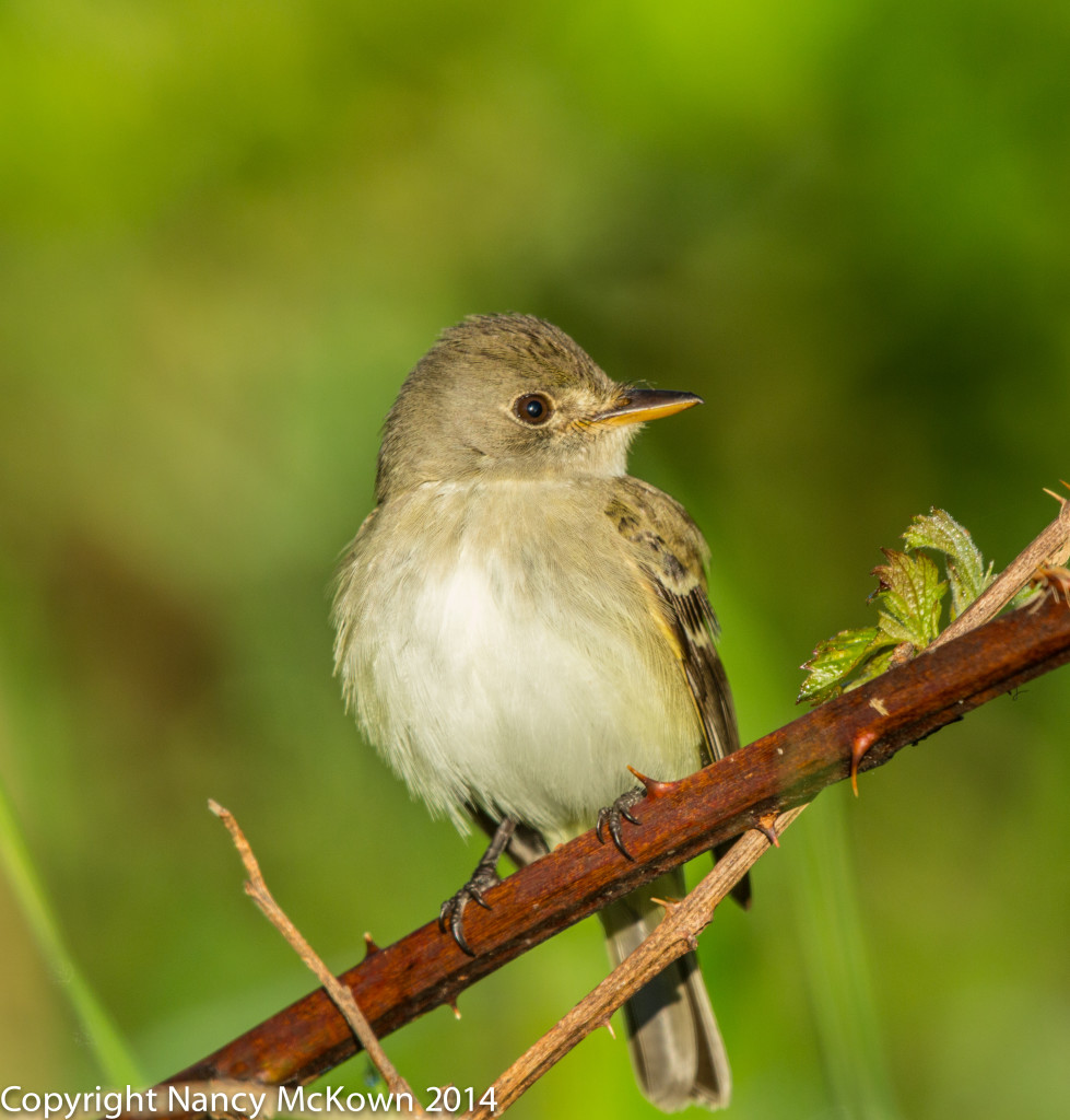 Photo of Flycatcher