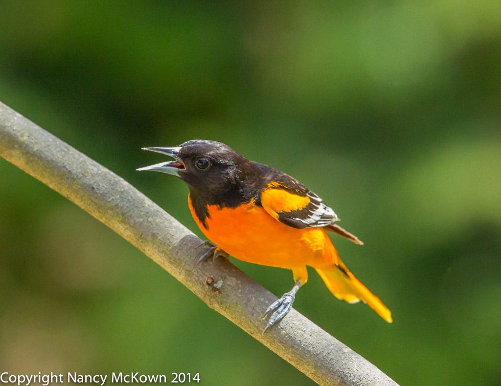 Photo of Male Baltimore Oriole