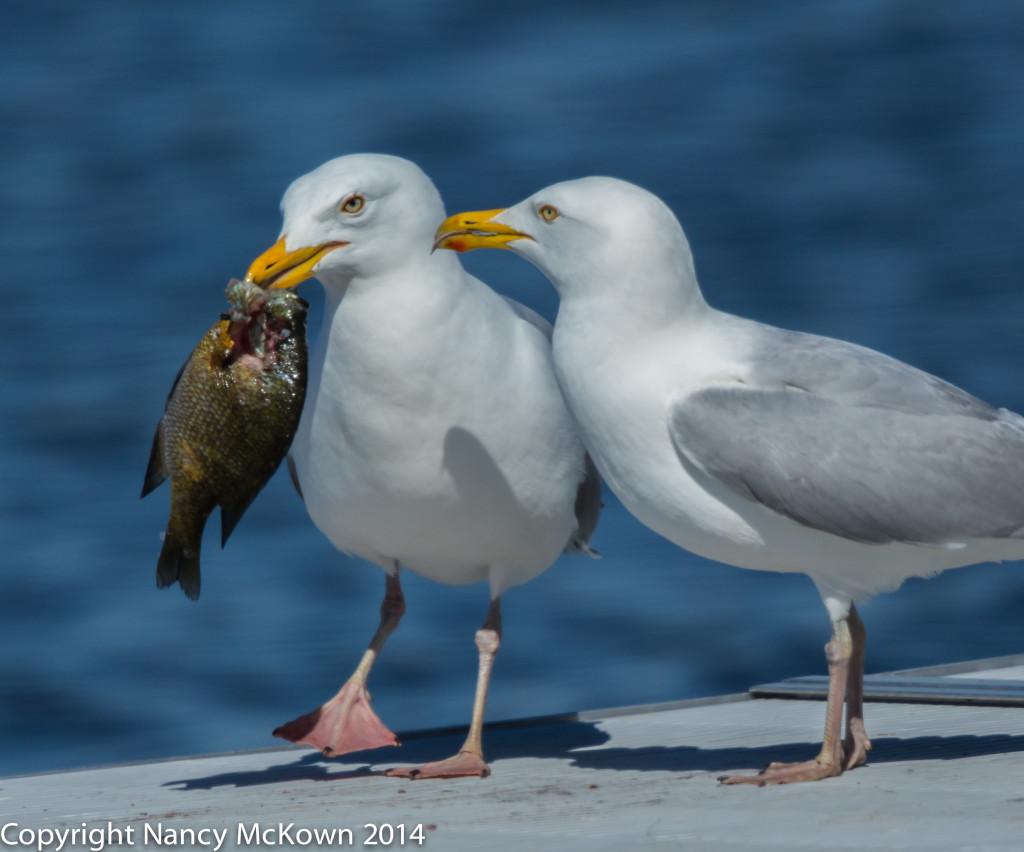 Photo of 2 Herring Seagulls