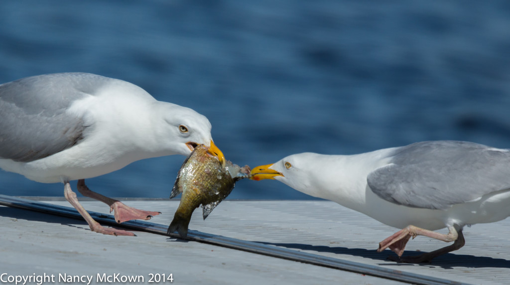 seagull3 NMcKown