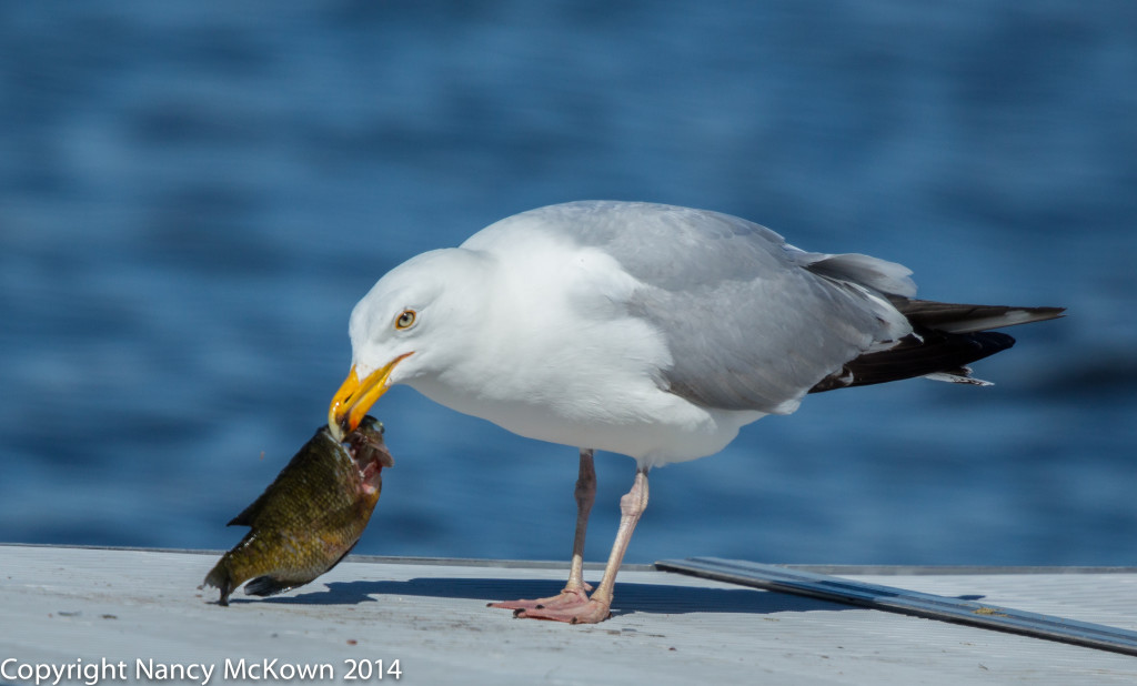 Photo of Seagulls Eating Bluegill