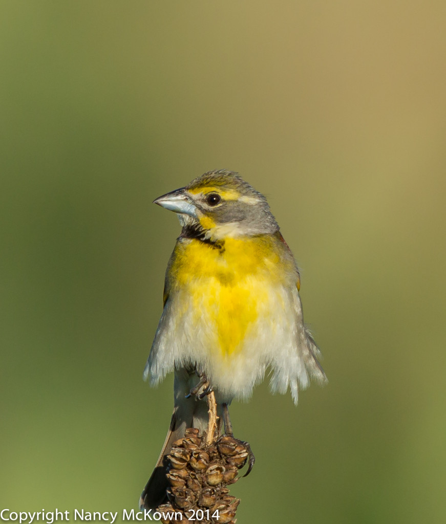 Photo of Male Dickcissel