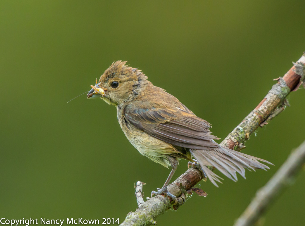 Photo of Female Indigo Bunting