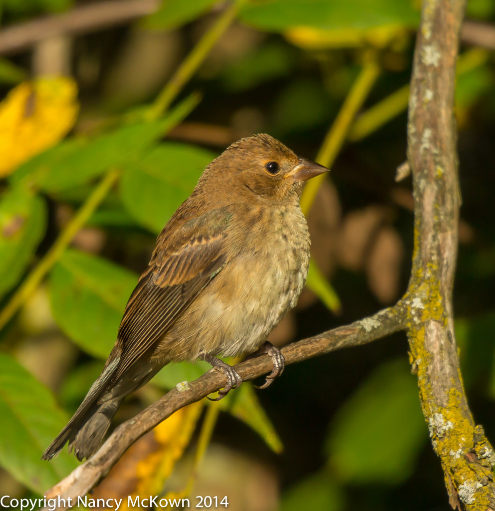 Photo of Juvenile Indigo Bunting