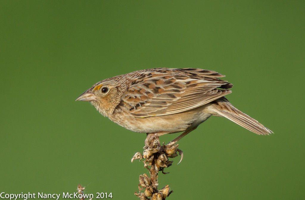 Photo of Grasshopper Sparrow