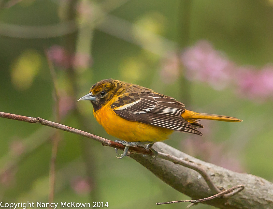 setting up perches to photograph baltimore orioles in your