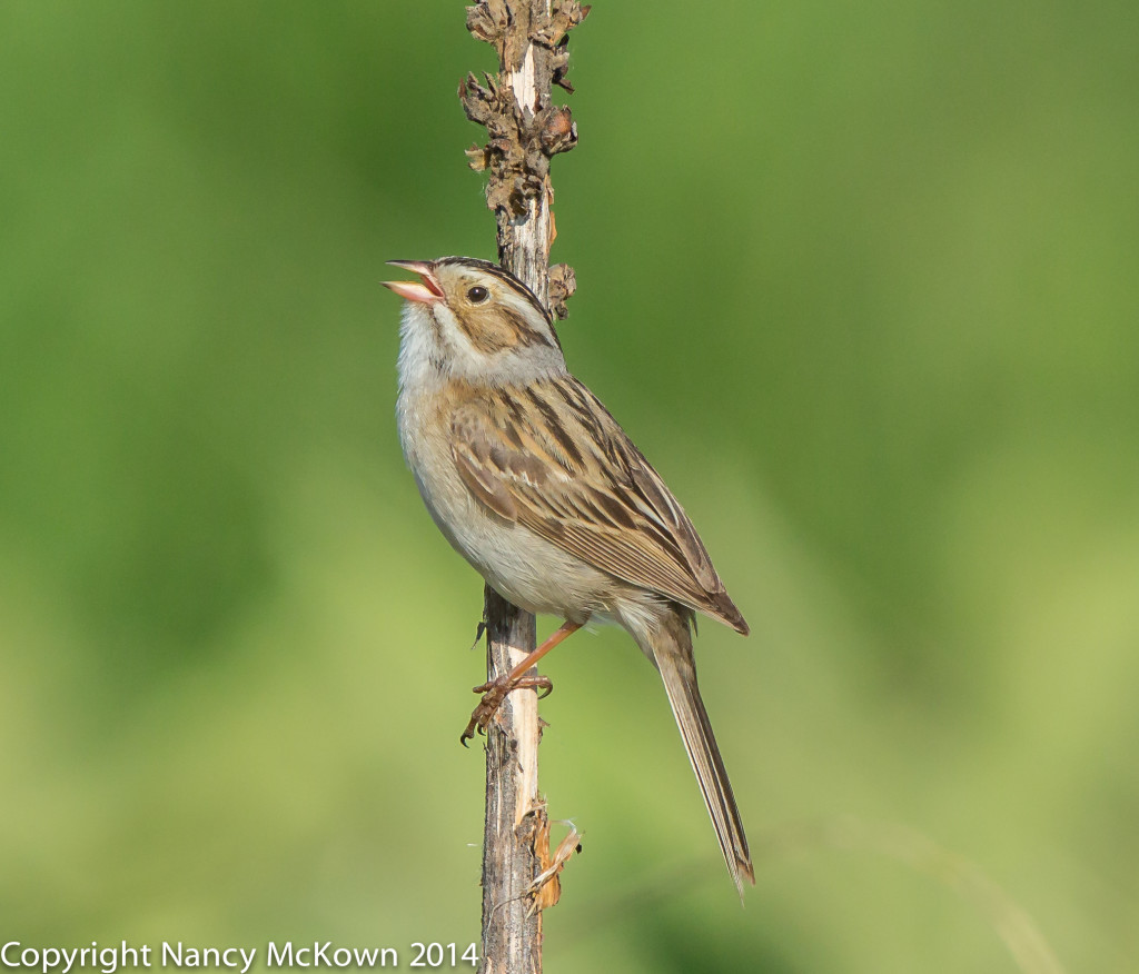 Photo of Clay Colored Sparrow