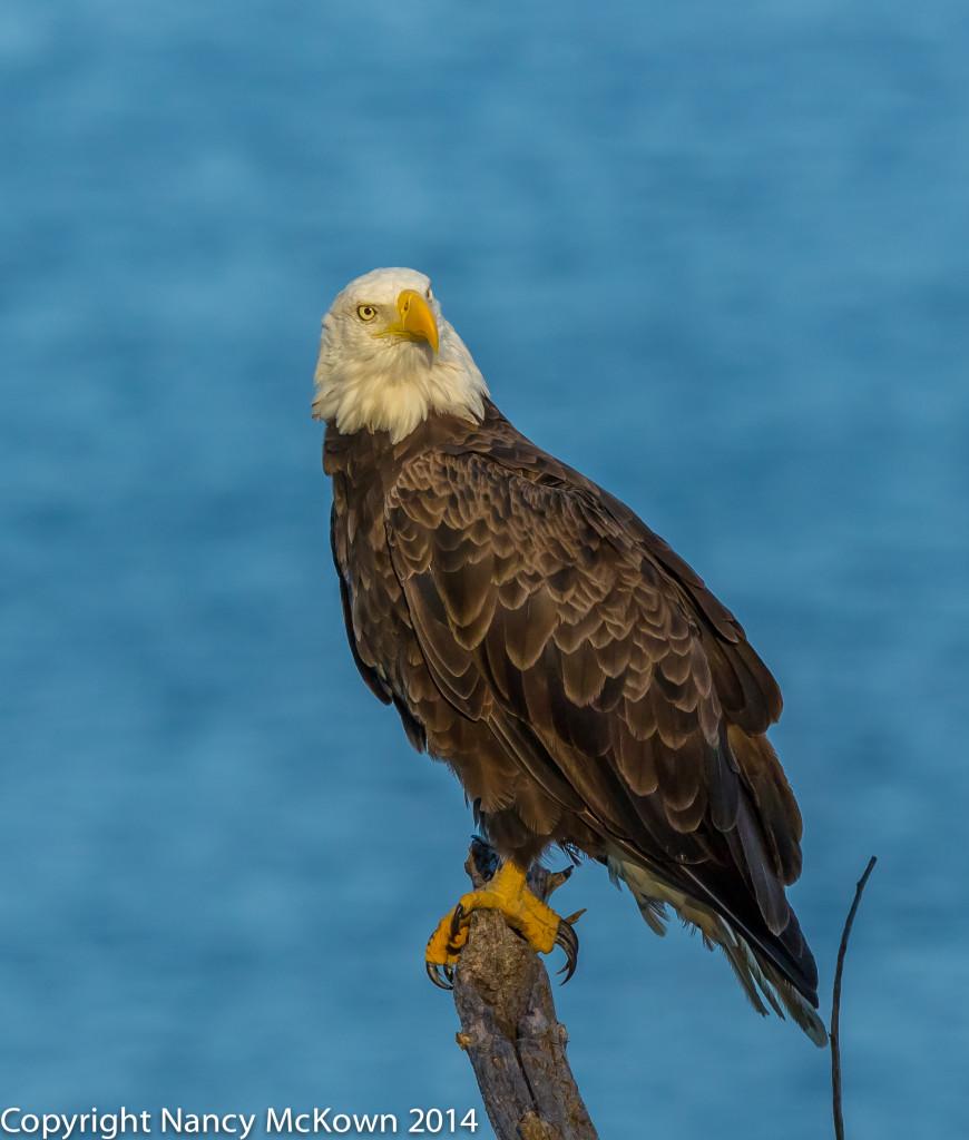 Photo of Perched Bald Eagle