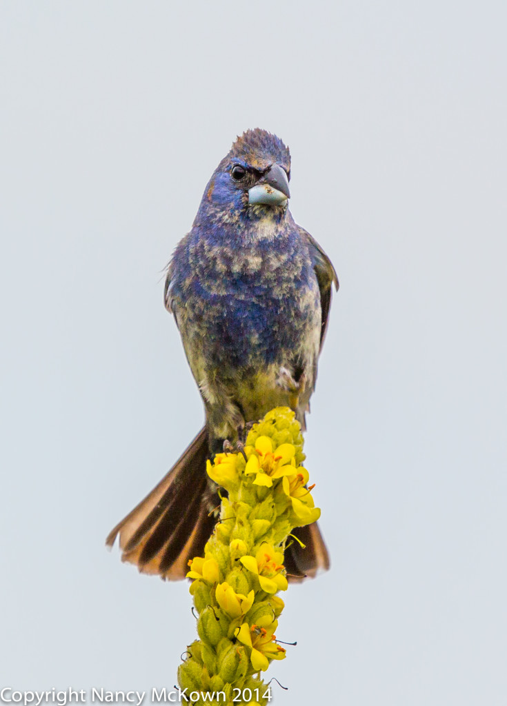 Photo of Male Blue Grosbeak
