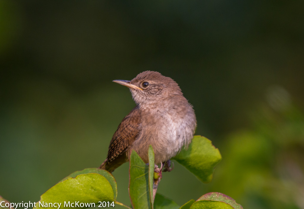 Photo of House Wren