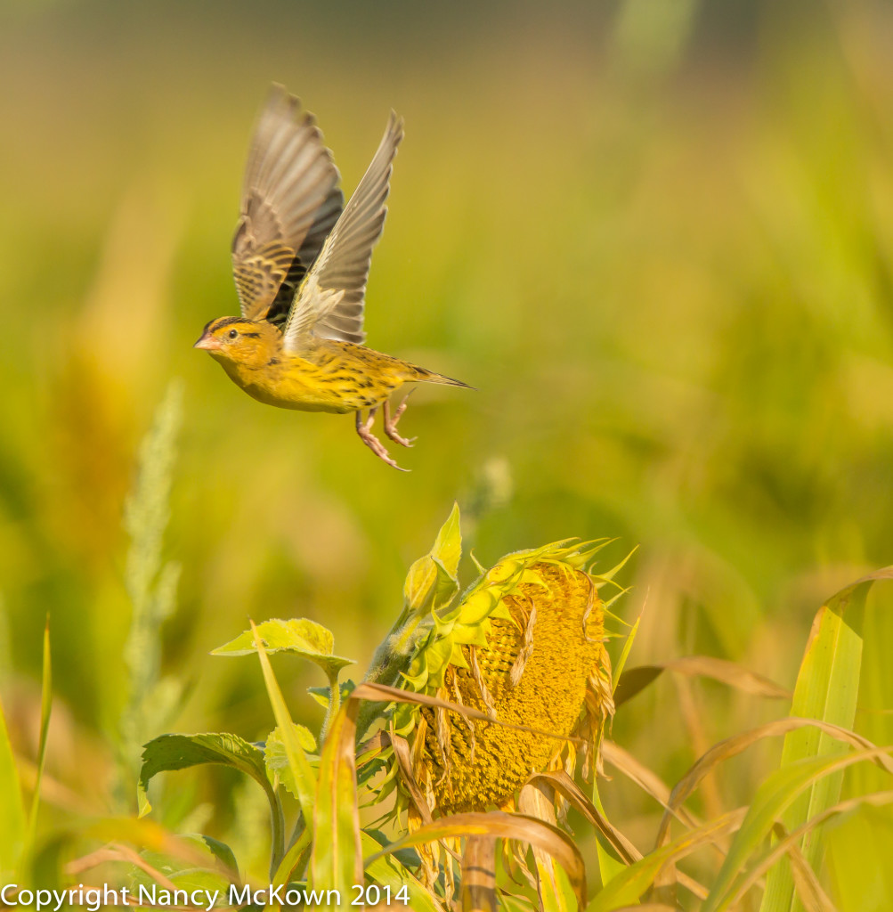 Photo of Female Bobolink