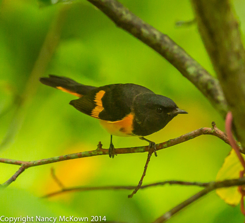 Photo of male American Redstart Warbler