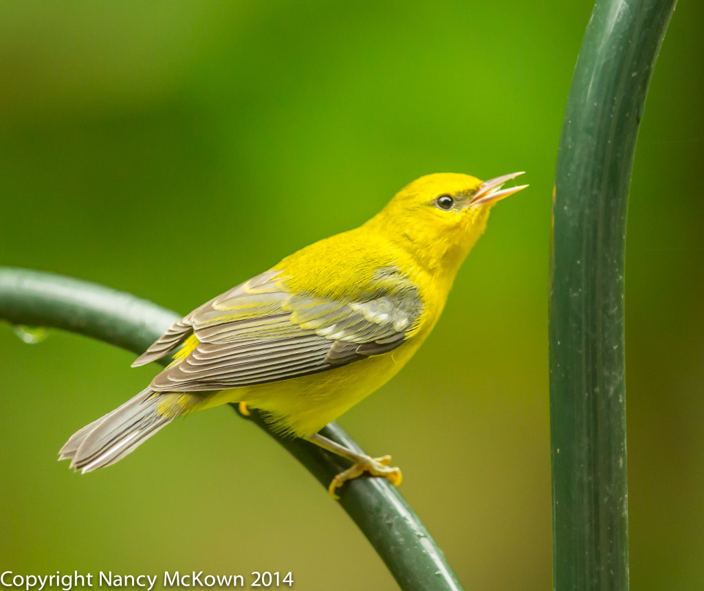 Photo of female Blue Winged Warbler