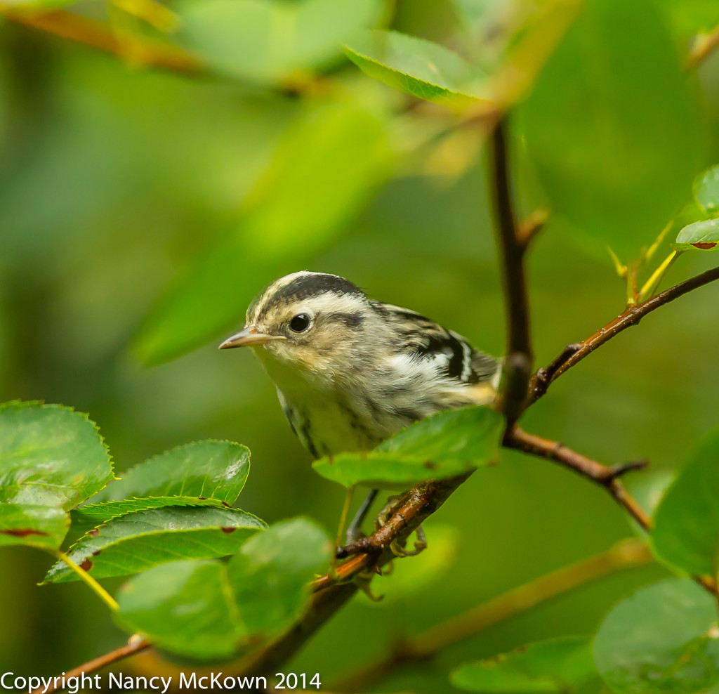 Photo of Black and White Warbler