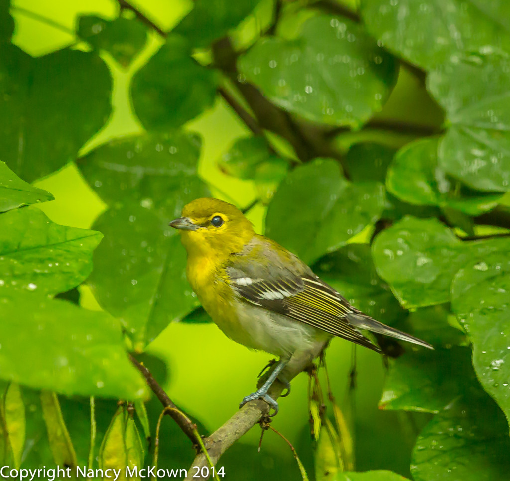 Photo of Yellow Breasted Vireo
