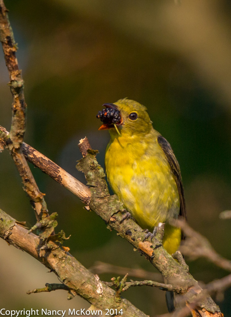 Photo of Female Scarlet Tanager